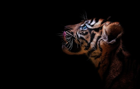 Picture look, tiger, portrait, profile, cub, kitty, face, wild cat, black background, tiger