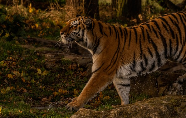 Picture autumn, forest, tiger, wild cat