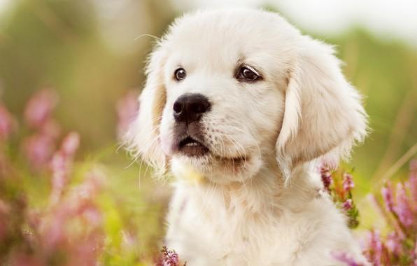 Picture white, look, face, flowers, close-up, nature, background, portrait, dog, meadow, puppy, Labrador, Golden, Retriever
