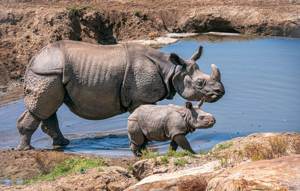 Picture water, baby, Rhino