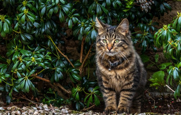 Picture cat, look, leaves, branches, kitty, background, Bush, cat, garden, collar, kitty, sitting, striped, teen