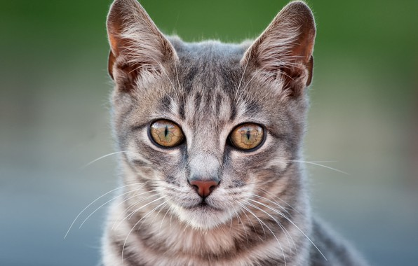 Picture cat, look, background, muzzle