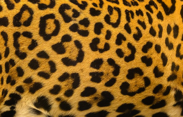 Picture background, leopard, skin, fur, leopard, texture, fur, skin