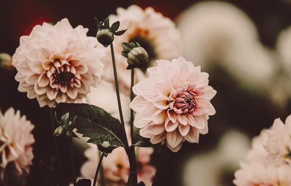 Picture flowers, pink, blur, dahlias
