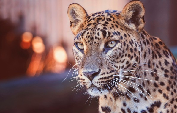 Picture look, face, lights, background, portrait, leopard, wild cat, bokeh, blurred