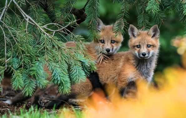 Picture forest, branches, nature, pose, background, pair, kids, red, a couple, needles, Duo, two, faces, Fox, …