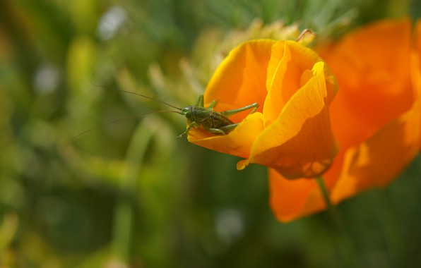 Picture greens, summer, macro, flowers, green, background, insect, grasshopper, orange, bokeh, escholzia