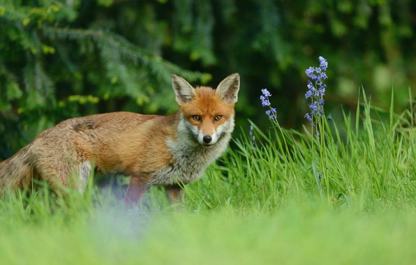 Picture greens, forest, summer, grass, look, flowers, branches, nature, glade, ate, muzzle, Fox, red, walk, Fox