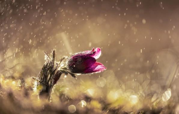 Picture flower, drops, light, glare, rain, spring, dream grass
