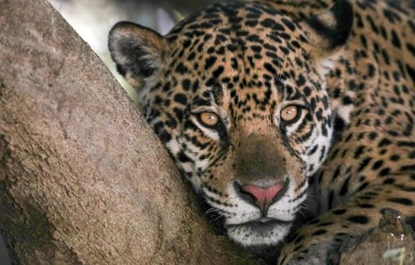 Picture look, face, tree, predator, Jaguar, wild cat