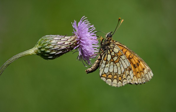 Picture flower, butterfly, Thistle