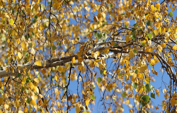 Picture autumn, leaves, tree, birch