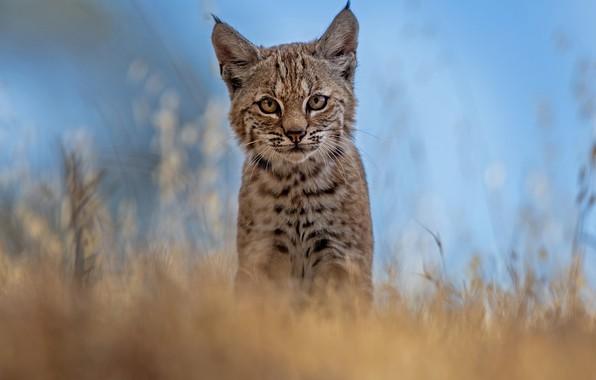 Picture grass, look, blur, muzzle, cub, kitty, lynx, wild cat, a small lynx