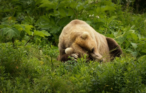 Picture greens, summer, grass, face, leaves, nature, pose, green, background, thickets, stay, glade, sleep, paws, bear, …