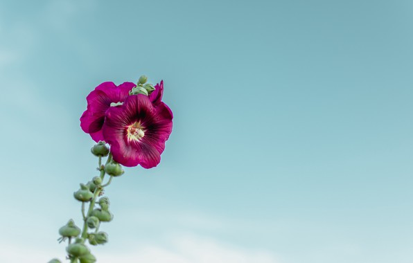Picture flower, sky, macro, blur, purple, bloom, buds, stem, 4k ultra hd background, Mallow flower