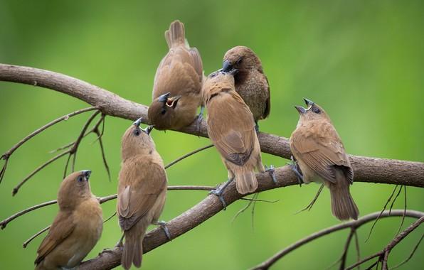 Picture birds, branch, flock, cheshuichatoe amadina
