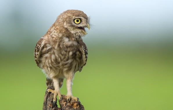 Picture bird, stump, little owl
