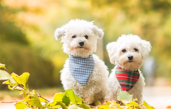 Picture dogs, leaves, nature, background, dog, branch, puppies, puppy, white, a couple, lapdog, lapdogs, fashion, handkerchiefs