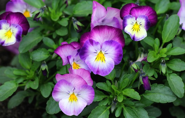 Picture summer, flowers, bright, purple, Pansy, violet, Bush, viola