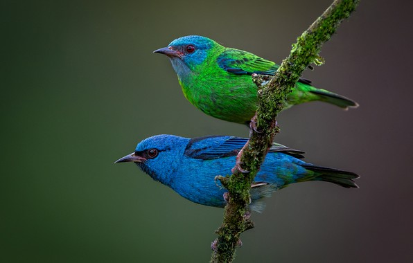 Picture birds, background, branch, a couple, Blue dacnis