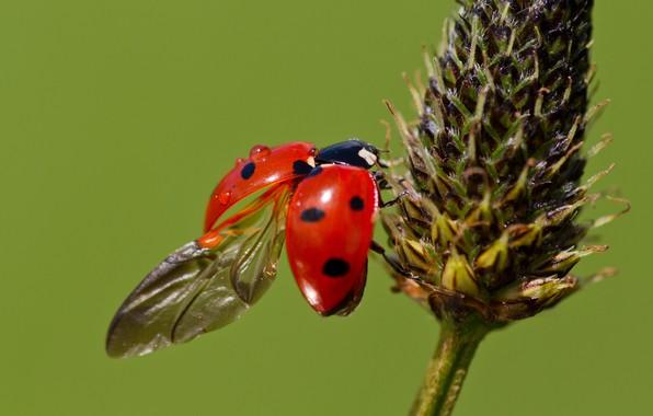 Picture macro, plant, ladybug, wings, beetle, green background