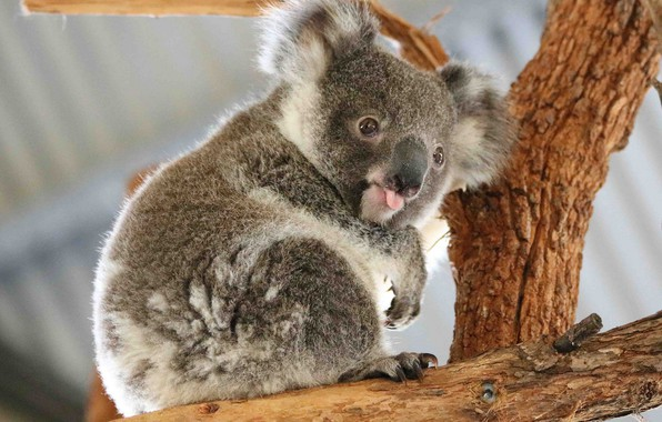 Picture language, bear, Koala, marsupials bear