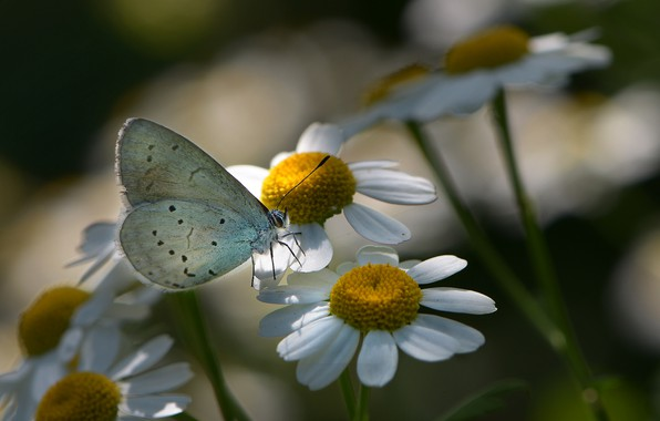Picture macro, flowers, nature, butterfly, chamomile, insect, flora, Nelia Rachkov