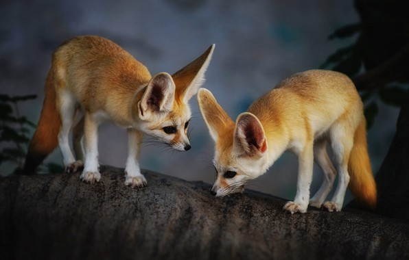 Picture animals, trunk, Fox, a couple, Fenech