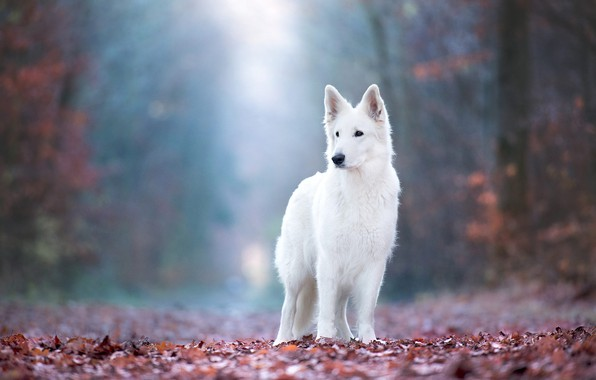 Picture autumn, forest, look, leaves, light, nature, pose, fog, Park, foliage, dog, white, is, bokeh, Swiss …