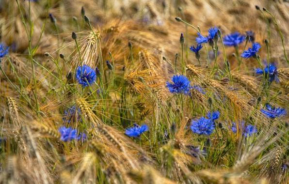 Picture summer, flowers, mood, rye, beauty, spikelets, blue, ears, cereals, blue, barley, cornflowers, rye field, barley …