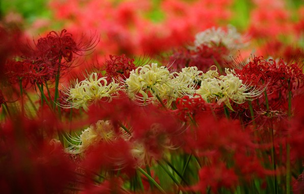Picture flowers, blur, petals, garden, red, white, a lot, bokeh, he lost his parents,, spider Lily