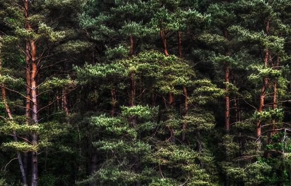 Picture forest, nature, pine