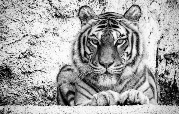 Picture look, face, tiger, portrait, black and white, wild cat, monochrome, handsome