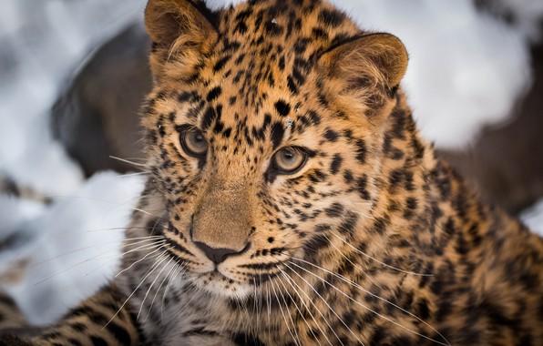 Picture face, Leopard, portrait, wild cat