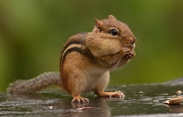 Picture walnut, Chipmunk, rodent