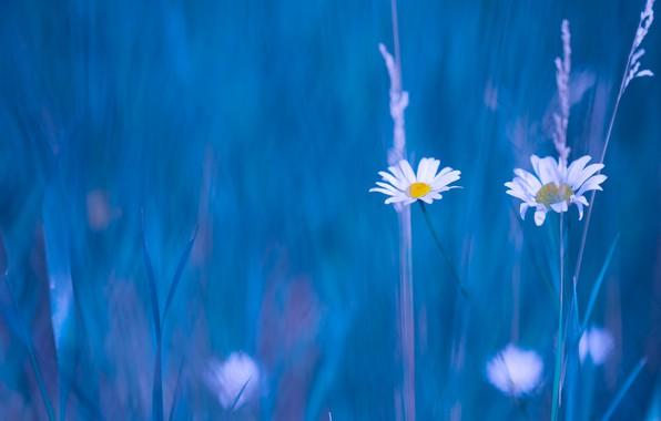 Picture background, chamomile, blur, Duo, grass