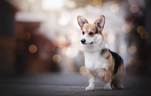 Picture glare, dog, stand, Welsh Corgi