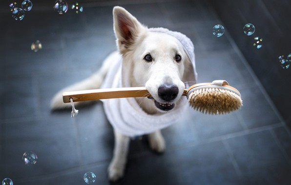 Picture look, face, clothing, tile, dog, bubbles, white, bathroom, view, Bathrobe, brush, pet, bathroom, Swiss shepherd ...