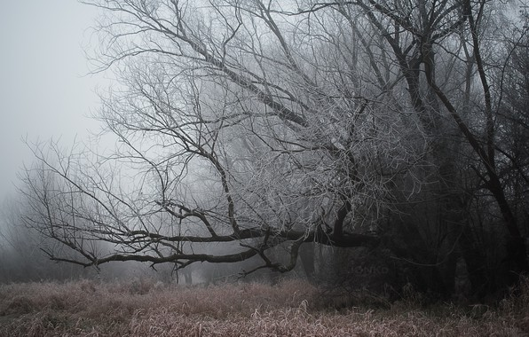 Picture winter, forest, grass, fog, Rosa, branch, Nature, grass, forest, nature, winter, tree, fog, wood, dew, …