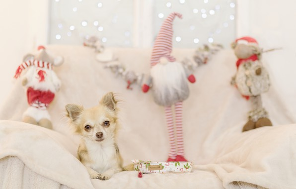 Picture holiday, new year, dog, gifts, dog, Chihuahua