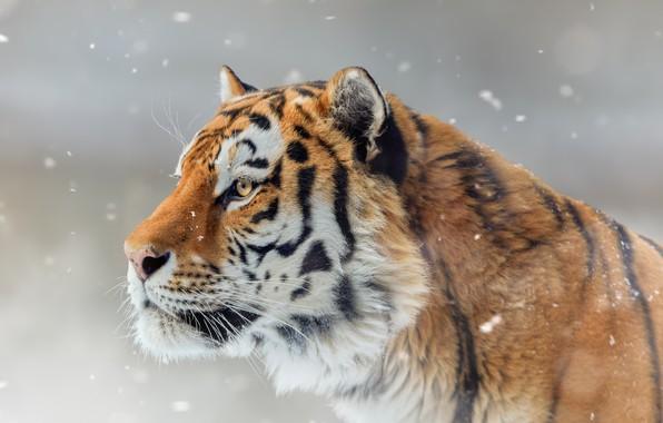 Picture face, snow, tiger, portrait, profile, wild cat