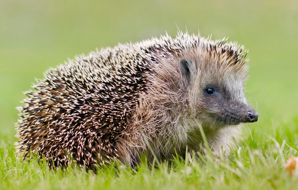 Picture summer, grass, needles, green, background, glade, portrait, muzzle, animal, hedgehog, spout, hedgehog, hedgehog, hedgehog