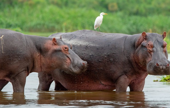 Picture water, bird, bathing, pair, Hippo, two, pond, hippos, Heron
