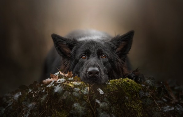 Picture look, face, background, moss, dog, German shepherd