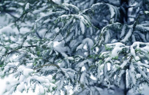 Picture winter, snow, tree, winter, snow, fir tree, fir-tree branches