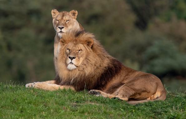 Picture Leo, wild cats, lions, a couple, lioness, family portrait