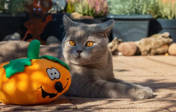 Picture cat, cat, Halloween, pumpkin, Halloween