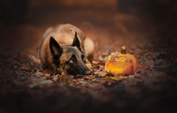 Picture dog, pumpkin, Halloween, Jack