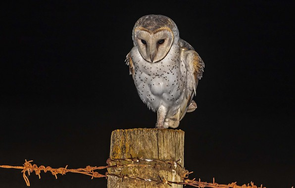 Picture night, owl, hunting