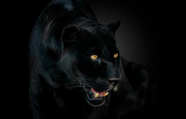 Picture eyes, Panther, fangs, Jaguar, jaguar, eyes, panther, catch
